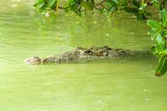 Free American Crocodile Swimming In A Mangrove Lagoon Royalty Free Stock Photos - 153386168