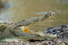 American crocodiles Royalty Free Stock Images