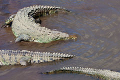 American Crocodiles Royalty Free Stock Photo