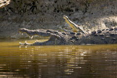 American Crocodiles. Resting and warming up on the banks of Buttonwood Canal, Flamingo, Florida Royalty Free Stock Photography