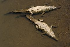 American crocodiles, view from above. Stock Images