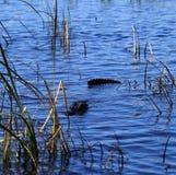 American crocodile coming to investigate us Stock Image