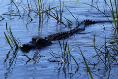 American crocodile coming to investigate us Stock Photography