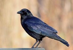 American Crow Stock Image