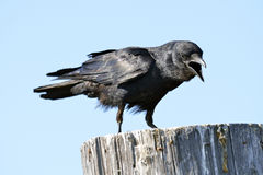 American Crow. An American Crow crowing while standing on a piling stock photos