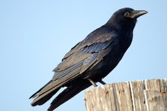 American Crow. An American Crow standing on a piling royalty free stock photos