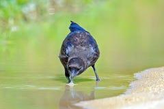 American Crow Stock Photography