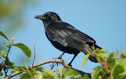 American crow. An american crow sits atop a branch at titlow beach in washington Stock Photo