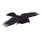 American Crow. 3D rendering with clipping path Royalty Free Stock Photo
