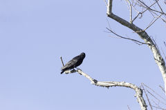 American Crow alert perched Stock Photo