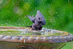 American Crow Bathing Stock Images