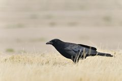 American Crow with bug Stock Photography