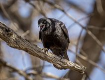 American Crow Calling Out from Branch. A beautiful American Crow perching on a branch, calling out as if scolding the photographer for being too close Royalty Free Stock Photography