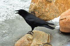American Crow Royalty Free Stock Images