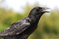 American Crow (Corvus brachyrhynchos) Stock Image