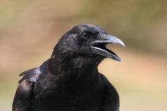Free American Crow (Corvus Brachyrhynchos) Royalty Free Stock Photos - 14971388