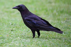 American Crow (Corvus brachyrhynchos) Stock Photography