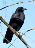 American Crow - Corvus brachyrhynchos Stock Photos