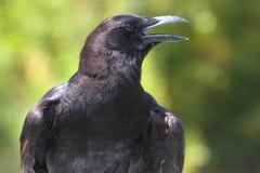 American Crow (Corvus brachyrhynchos) Royalty Free Stock Image