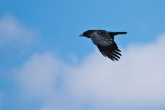 American Crow in Flight Stock Photos