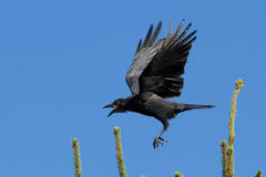 American Crow in flight Stock Image
