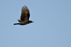 American Crow in Flight in a Blue Sky Stock Photography