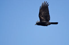 American Crow Flying in a Blue Sky Royalty Free Stock Photography