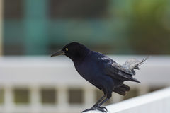 American crow. The American crow is a large species of the Corvidae family of birds. It is found throughout North America. nThree types of crows, there is the Royalty Free Stock Photography