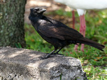 American Crow Looking Behind Itself Royalty Free Stock Photo