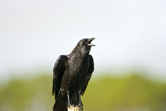 American Crow perched Royalty Free Stock Photo