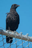 American Crow Royalty Free Stock Photo