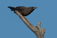 American Crow Royalty Free Stock Photography