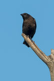 American Crow Stock Photos