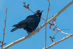American Crow Royalty Free Stock Photos