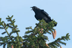 American Crow Stock Images