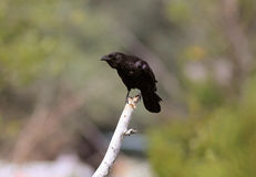 American crow perched on tree branch Royalty Free Stock Images