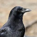 American Crow Profile Royalty Free Stock Image