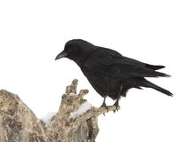 American Crow on snow Stock Photography