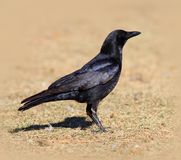 American Crow Standing on Grass Stock Photography