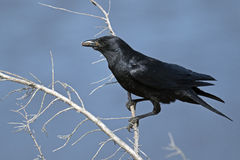 American Crow. An American Crow  standing in a tree Stock Photos