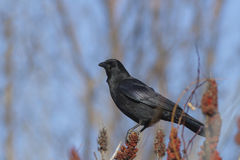 American Crow Stock Photography