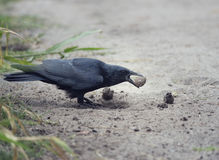 American crow with a turtle egg Royalty Free Stock Images