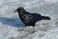 American crow walking on snow covered ice Stock Photography