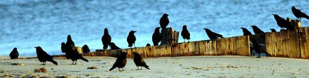 American crows Stock Photos