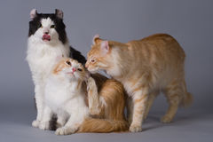 American curl Stock Photography
