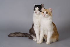 American Curl Stock Photos