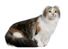 American Curl (2 years old) Royalty Free Stock Image