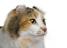 American Curl (2 years old). In front of a white background stock image