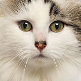 American Curl. Close-up of an American Curl royalty free stock images