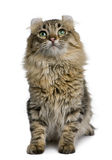 American Curl (8 months old) Stock Images